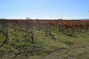 ktima-alpha-s-vineyard-pinot-n