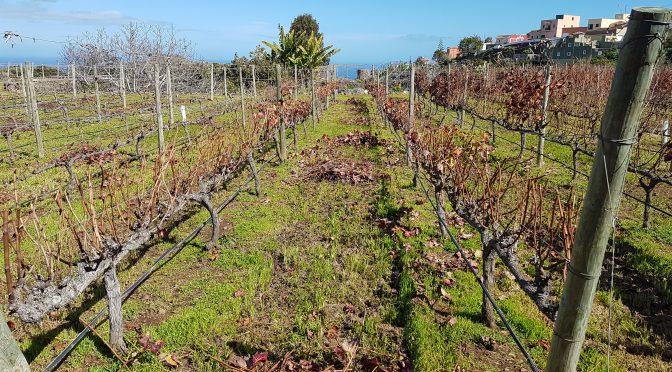 Viñátigo, Volcanic Wines & The Black Dribbler