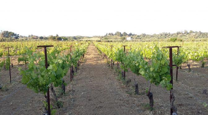 The Homeric Vineyards of Vatsa in Kefalonia